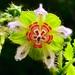 Nasa triphylla rudis - Photo (c) timendez, algunos derechos reservados (CC BY-NC)