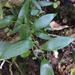 Danae racemosa - Photo (c) adonis_wei, algunos derechos reservados (CC BY-NC)