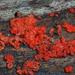 Tulasnella aurantiaca - Photo (c) Christian Schwarz, osa oikeuksista pidätetään (CC BY-NC)