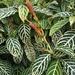 Sanchezia tigrina - Photo (c) David, algunos derechos reservados (CC BY-NC)