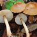 Rhodocollybia butyracea - Photo (c) Christian Schwarz, μερικά δικαιώματα διατηρούνται (CC BY-NC)