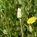 Agoseris grandiflora - Photo (c) Robert, alguns direitos reservados (CC BY-NC)