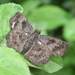 Central American Sootywing - Photo (c) Francisco Acosta, some rights reserved (CC BY-NC)