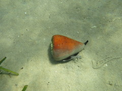 Image of Conus betulinus
