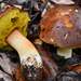 Queen Bolete - Photo (c) Christian Schwarz, some rights reserved (CC BY-NC)