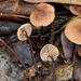 Garlic Mushroom - Photo (c) Christian Schwarz, some rights reserved (CC BY-NC)