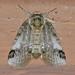 Sleeping Baileya Moth - Photo (c) Monica Krancevic, some rights reserved (CC BY-NC)