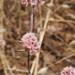 Chorizanthe membranacea - Photo (c) Tom Hilton, algunos derechos reservados (CC BY)