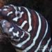 Gymnomuraena zebra - Photo (c) Nigel Marsh, osa oikeuksista pidätetään (CC BY-NC)