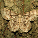 Epimecis hortaria - Photo (c) Katja Schulz, algunos derechos reservados (CC BY)