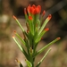 Lesser Paintbrush - Photo (c) dgreenberger, some rights reserved (CC BY-NC-ND)