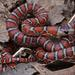 Chihuahuan Mountain Kingsnake - Photo (c) Gert Jan Verspui, some rights reserved (CC BY-NC)