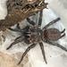 Australothele jamiesoni - Photo (c) tjeales,  זכויות יוצרים חלקיות (CC BY-SA)