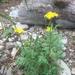 Alpine False Springparsley - Photo (c) irinachen, some rights reserved (CC BY-NC)