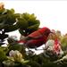 Himatione sanguinea - Photo (c) Caleb Slemmons, algunos derechos reservados (CC BY-NC)