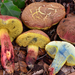 Oak-loving Bolete - Photo (c) Christian Schwarz, some rights reserved (CC BY-NC)