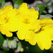 Rough Guinea Flower - Photo (c) James Gaither, some rights reserved (CC BY-NC-ND)