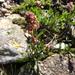 Valeriana celtica - Photo (c) murielbendel, μερικά δικαιώματα διατηρούνται (CC BY-NC), uploaded by Muriel Bendel
