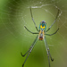 Leucauge argyrobapta - Photo (c) Mary Keim,  זכויות יוצרים חלקיות (CC BY-NC-SA)