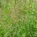 Agrostis gigantea - Photo (c) Erin Faulkner,  זכויות יוצרים חלקיות (CC BY-NC)