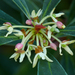Tasmannia lanceolata - Photo (c) James Gaither, μερικά δικαιώματα διατηρούνται (CC BY-NC-ND)
