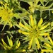 Heterorhachis aculeata - Photo (c) markus lilje, algunos derechos reservados (CC BY-NC-ND)