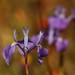 Moraea tripetala - Photo (c) markus lilje, algunos derechos reservados (CC BY-NC-ND)