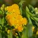 Pentanema germanicum - Photo (c) katunchik, algunos derechos reservados (CC BY)