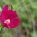 Callirhoe papaver - Photo (c) matthewherron,  זכויות יוצרים חלקיות (CC BY-NC), uploaded by Matthew Herron