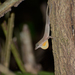 Rodriguez's Anole - Photo (c) jorgedangel, some rights reserved (CC BY-NC)