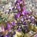 Astragalus - Photo (c) Corey Lange, algunos derechos reservados (CC BY-NC)