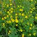 Potentilla chrysantha - Photo (c) gyng,  זכויות יוצרים חלקיות (CC BY-NC)
