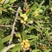 Narrowleaf Firethorn - Photo (c) David Hoare, some rights reserved (CC BY-NC)