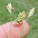Bouteloua dactyloides - Photo (c) Sam Kieschnick,  זכויות יוצרים חלקיות (CC BY)