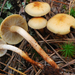 Hypholoma capnoides - Photo (c) noah_siegel, algunos derechos reservados (CC BY-NC-SA), uploaded by noah_siegel