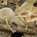 Collybiopsis dichroa - Photo (c) noah_siegel, μερικά δικαιώματα διατηρούνται (CC BY-NC-SA), uploaded by noah_siegel