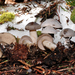 Snowmelt Clitocybe - Photo (c) noah_siegel, some rights reserved (CC BY-NC-SA), uploaded by noah_siegel