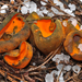 Spring Orange Peel Fungus - Photo (c) noah_siegel, some rights reserved (CC BY-NC-SA), uploaded by noah_siegel
