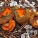 Caloscypha fulgens - Photo (c) noah_siegel,  זכויות יוצרים חלקיות (CC BY-NC-SA), uploaded by noah_siegel