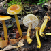 Heath Waxcap - Photo (c) noah_siegel, some rights reserved (CC BY-NC-SA), uploaded by noah_siegel