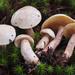 Suillus placidus - Photo (c) noah_siegel, algunos derechos reservados (CC BY-NC-SA), uploaded by noah_siegel