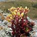 Dudleya farinosa - Photo (c) randomtruth, algunos derechos reservados (CC BY-NC-SA)