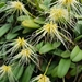 Bulbophyllum vaginatum - Photo (c) CheongWeei Gan, some rights reserved (CC BY-NC)