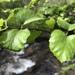 Betula occidentalis - Photo (c) Neil Frakes, alguns direitos reservados (CC BY-NC)