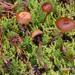Deconica montana - Photo (c) noah_siegel, algunos derechos reservados (CC BY-NC-SA), uploaded by noah_siegel