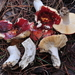 Russula californiensis - Photo (c) noah_siegel,  זכויות יוצרים חלקיות (CC BY-NC-SA), uploaded by noah_siegel