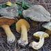 Suillus fuscotomentosus - Photo (c) noah_siegel, alguns direitos reservados (CC BY-NC-SA), uploaded by noah_siegel