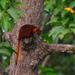 Petaurista petaurista - Photo (c) Christian Schwarz, μερικά δικαιώματα διατηρούνται (CC BY-NC)