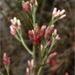 Pseudognaphalium ramosissimum - Photo (c) 2008 Jorg Fleige, algunos derechos reservados (CC BY-NC)