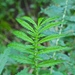 Agrimonia parviflora - Photo (c) Fluff Berger,  זכויות יוצרים חלקיות (CC BY-SA)
